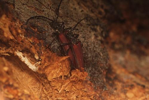 ヒラヤマコブハナカミキリ 洞の中