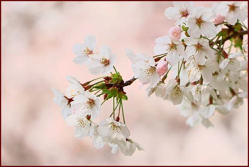 Cherry (ソメイヨシノ)