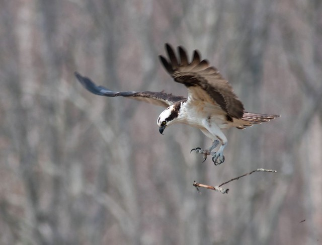 Osprey - Building the nest 1