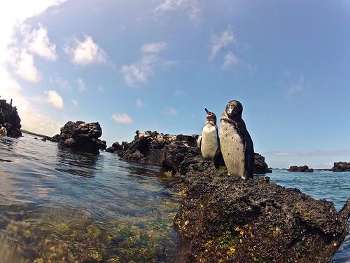Penguins, Galapagos