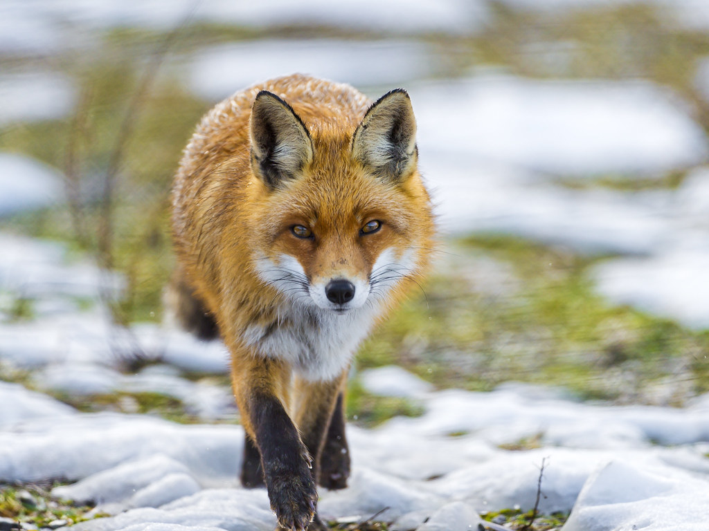 Fox walking towards me