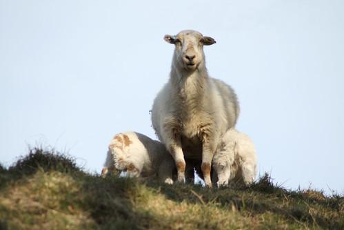 Ewe & twin lambs