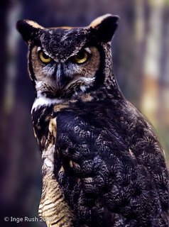 Kellogg Bird Sanctuary: Great Horned Owl (Bubo virginianus)