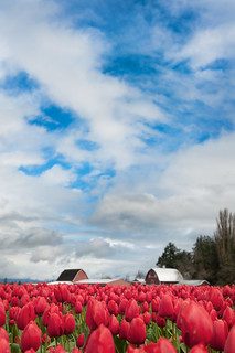 Skagit Valley Tulips Festival