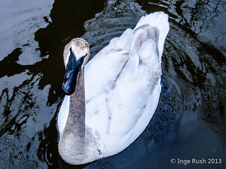 Hey! What ya doing???? - Kellogg Bird Sanctuary: Trumpeter Swan (Cygnus buccinator)
