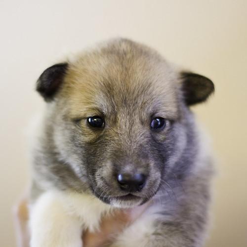 Ike-Kilbe-Pup4-Male(Day 22)-1