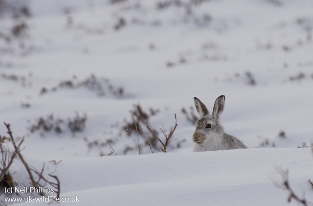 Mountain Hare Lepus timidus-4