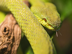 White-lipped tree viper