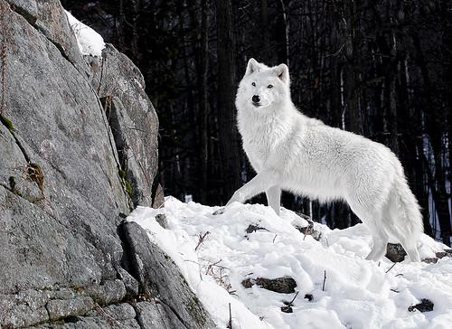 Arctic Wolf Portrait by megadigital