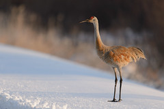 Sandhill Crane on Snow-48063.jpg by Mully410 * Images
