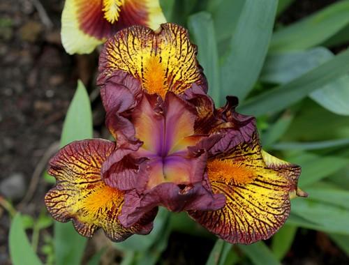 Iris nain 'Firestorm' (5)