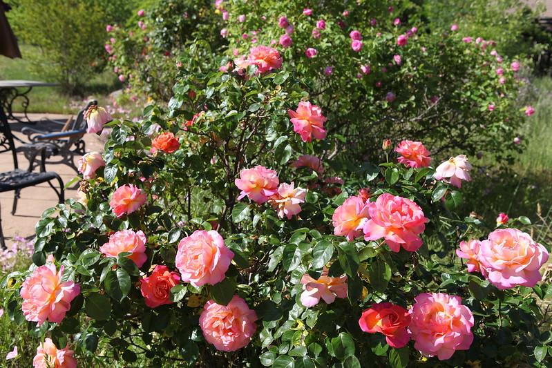 rose_176