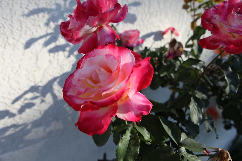 rose_166