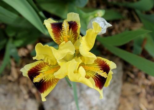 Iris nain 'Ritz'