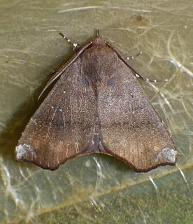 white tip tan and brown owlet moth Noctuidae Airlie Beach P1100092