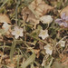 Small photo of Oxalis acetosella, Viola. Breidden Hill, Monmothshire