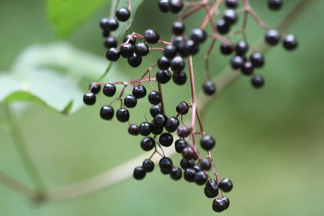 Sambucus nigra (elderbery)