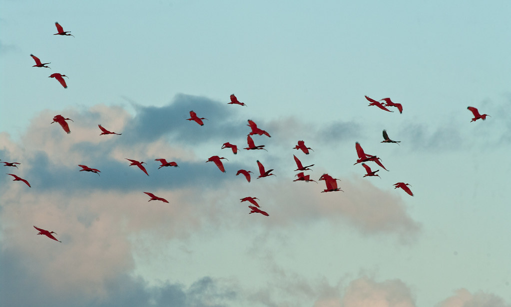 Scarlet Ibis at Caroni Swamp