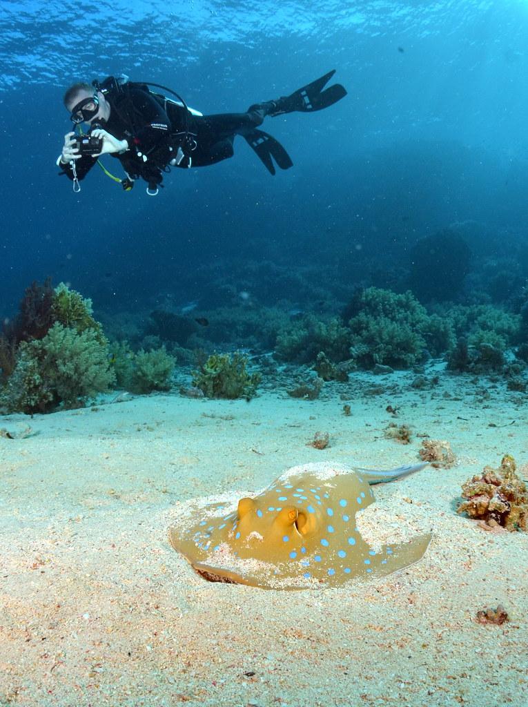 Submarinista fotografiando una raya de puntos azules ( neotrygon kuhlii) en el Parque nacional Ras Muhammad, Egipto. Mar Rojo.