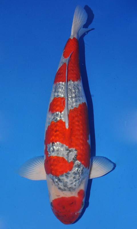 Best in Variety Ginrin B - bred by Minuma Koi Farm (owned by Arno & Elise)
