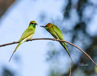 Green Bee-eater (Merops orientalis) giving valentines day gift ;-)