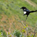 A roving magpie... 20110613_4676 by listorama
