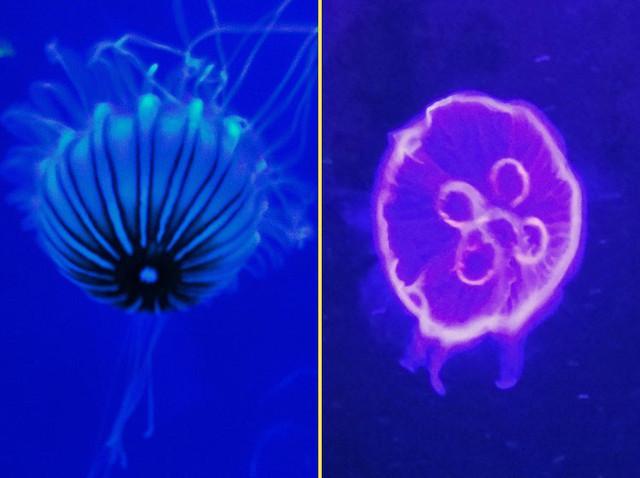 sea-nettle-jellyfish