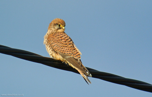 Kestrel at Stewartby