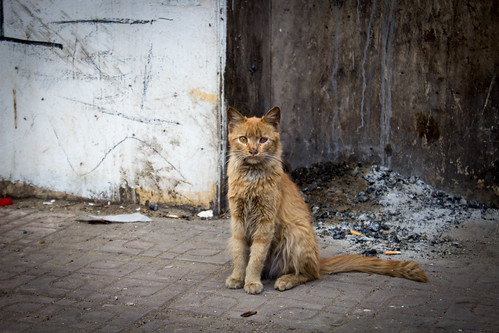 Rough looking Cairo street cat by Ester Meerman