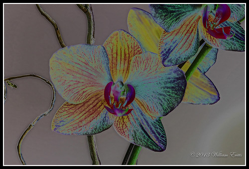 flowers orchid effects artistic orchidaceaesolarizephotoshopelements