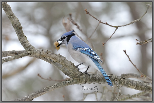 Blue Jay  22
