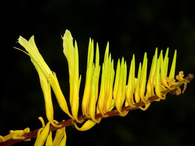 Pitcairnia sp., Bromeliaceae