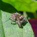 Small photo of Salticidae
