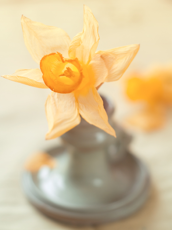 Old daffodil