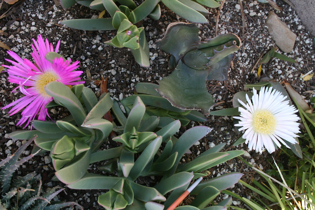 Carpobrotus quadrifidus(white flower)