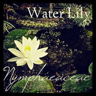 Garden Alphabet: Water Lily (Nymphaeaceae)