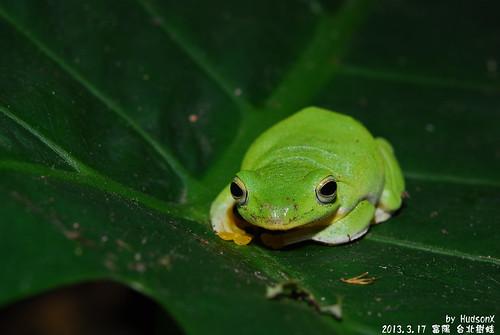 台北樹蛙(5)