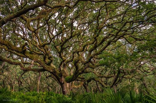 saintmarys georgia unitedstates cumberlandisland maritimeforest plant treeoflife viktorposnov deciduous evergreen flora forest landscape nature tree woods