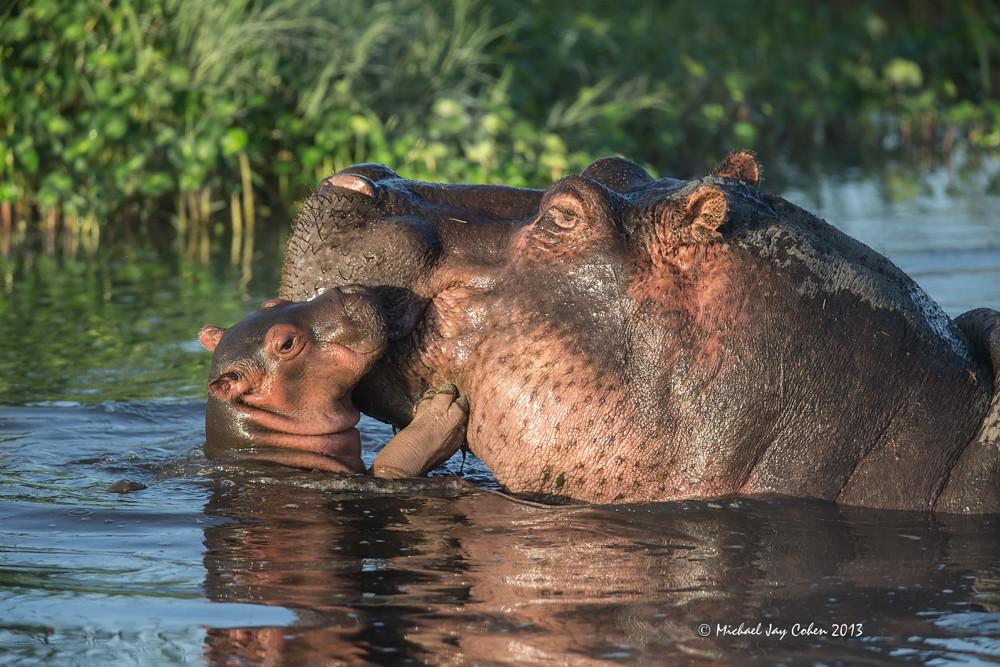 Hippo Baby