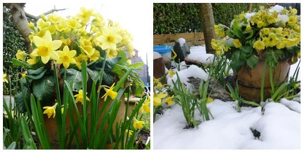 Daffodils Mar13
