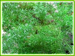 Asparagus densiflorus 'Sprengeri' (Sprengeri Asparagus Fern, Asparagus/Foxtail Fern, Plume Asparagus)