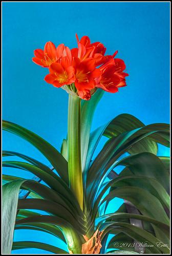 miniata vigilantphotographersunite vpu2 vpu3 vpu4 natureflowerslilykaffircanonnatal lilyamarlyyidaceaecliviaclivia vigilantphotographerunite