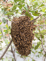 arthropod, animal, honey bee, branch, invertebrate, membrane-winged insect, fauna, bee, beehive,
