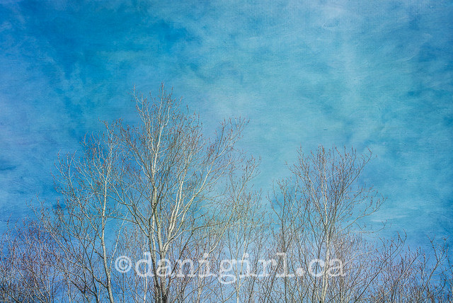 Spring sky and birch trees
