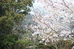 Sakura Cherry Blossoms in Oita, Japan