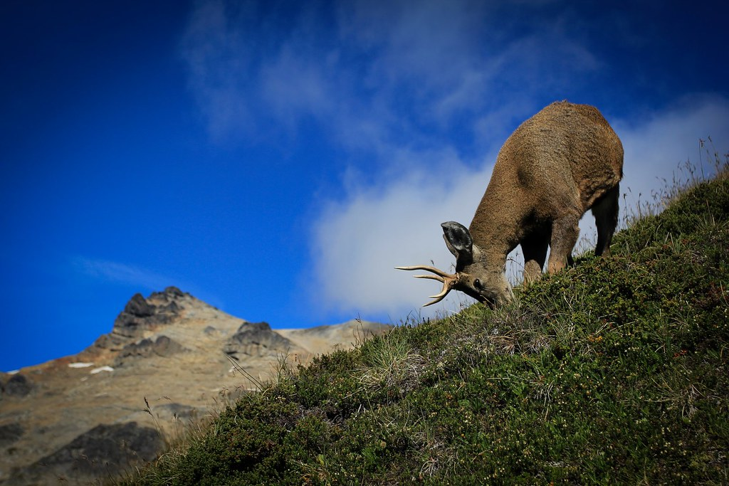 Huemul or Andean deer. An estimated 2000 animals of this endangered deer species are left in Patagonia. We met this young, curious male while hiking through the Reserva Nacional Cerro Castillo.