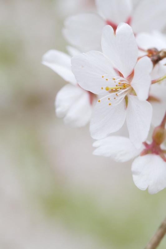 Sakura in Kyoto 9