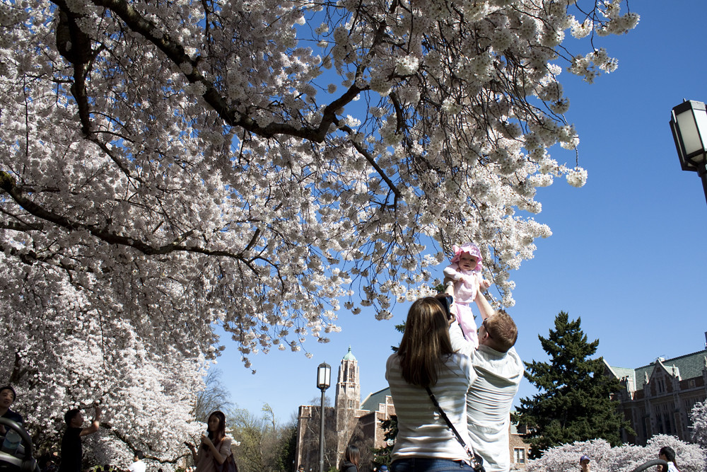 Cherry Blossoms at University of Washington 5