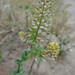 clasping pepperweed - Photo (c) Thayne Tuason, some rights reserved (CC BY-NC)