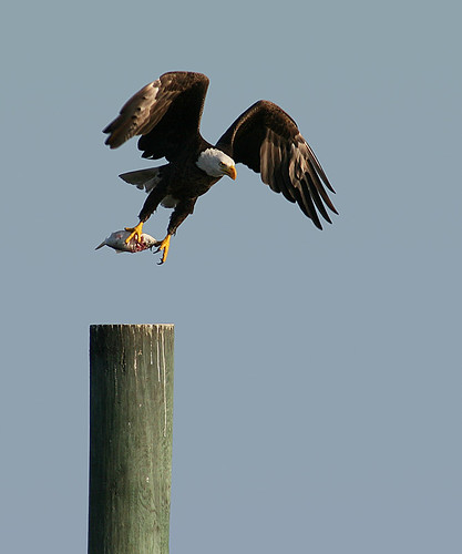 wild copyright usa bird nature birds animal animals eagle florida wildlife web birding baldeagle aves creation april northamerica fl 365 creatures creature birdwatching eagles cedarkey animalia avian levy allrightsreserved 97 day97 audubon copyrighted chordata 040713 2013 img5770 michellepearson websized 365daysofphotos mickip mickip65 20130407 04072013 apr072013